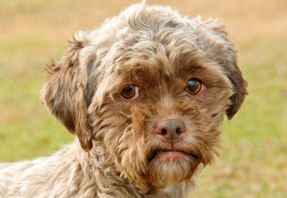 Tonik - cão com feições humanas