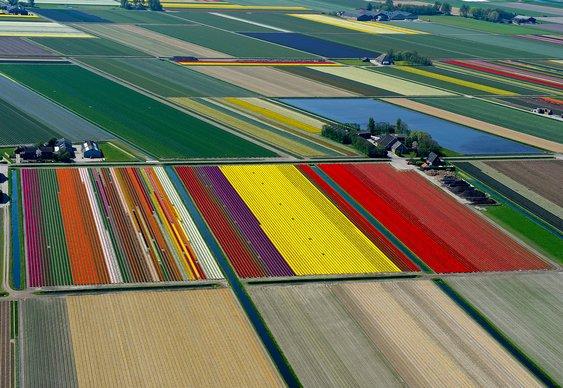 Campos com tulipas na Holanda