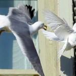 Por quê a gaivota atacou a pomba branca da Paz?