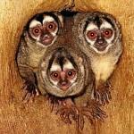 Todo dia é dia dos namorados para os macacos-da-noite