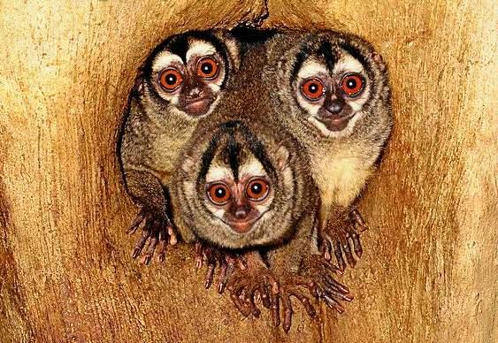 Amor entre macacos