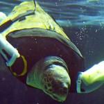 Vídeo: tartaruga marinha ganha próteses e volta a nadar