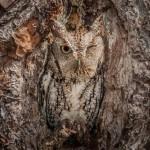 Coruja monta guarda disfarçada na entrada de ninho em árvore