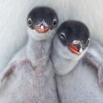 Dois filhotes de pinguins recém-nascidos no frio da Antártida