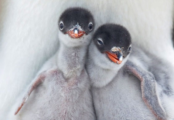Pinguins recém-nascidos