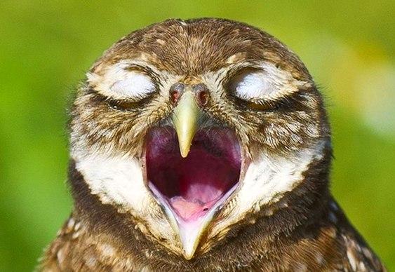 Coruja cantando
