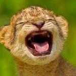 O 'rugido' do leão-bebê que derrete até os corações de pedra