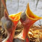 O canto melodioso, estridente e polêmico da sabiá-laranjeira