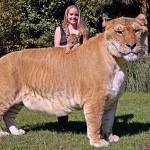 Você já conhecia Hércules, o tigrão – mistura de tigre com leão?