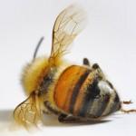 Contaminação por agrotóxicos é causa do sumiço das abelhas