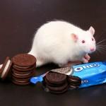 Biscoito de chocolate recheado vicia tanto quanto cocaína e morfina