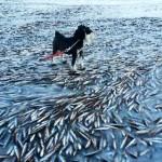 Cardume de peixes surpreendido por congelamento da água do mar