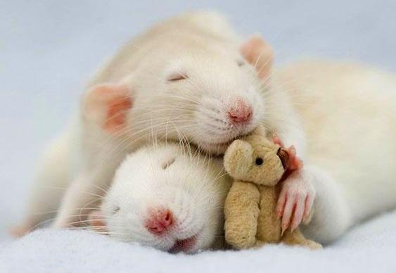 Ratos abraçados com ursos de pelúcia