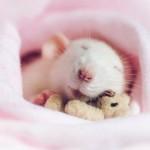 Ratos de estimação dormem com ursinhos de pelúcia em miniatura