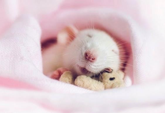 Rato abraçado com urso de pelúcia