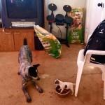 Luta de Davi e Golias entre cãozinho e cachorrão pela comida