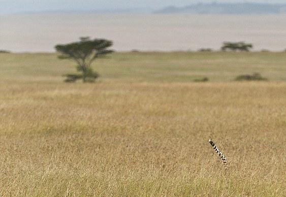 Guepardo caçando