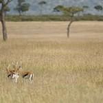 A camuflagem perfeita do guepardo em caçada na savana