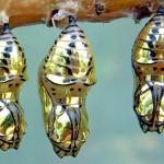 Os incríveis casulos dourados das borboletas com asas de tigre