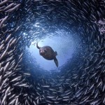 Leão-marinho atravessa um túnel submarino formado por peixes