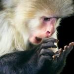 Macacos aprendem a somar e já conseguem fazer contas