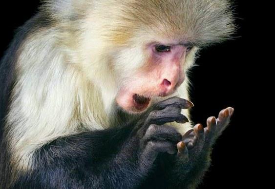 Macaco somando nos dedos