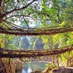 As incríveis pontes vivas feitas com raízes trançadas de seringueiras