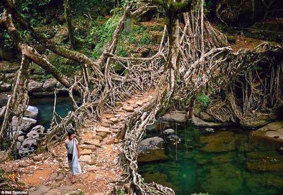 Ponte de raízes na Índia