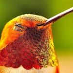 Explosão de cores nas penas do beija-flor em closes incríveis