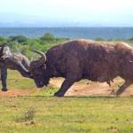 Búfalo invocado faz elefantinho voar como se fosse um Dumbo