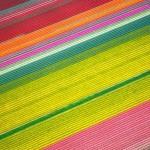 Plantações geométricas de tulipas como feixes coloridos de raios laser