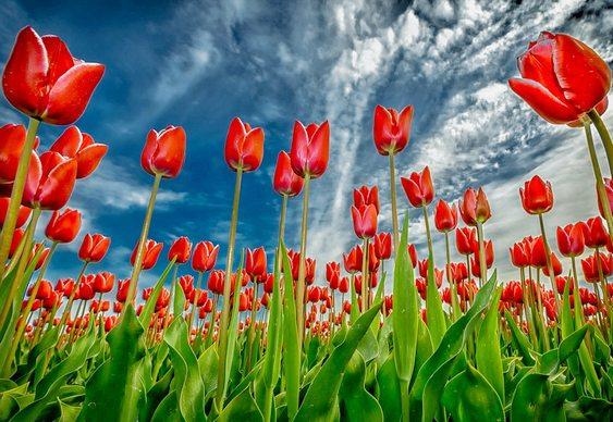 Campos de tulipas na Holanda