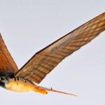 Ave de rapina robótica espanta pássaros de fazendas e aeroportos
