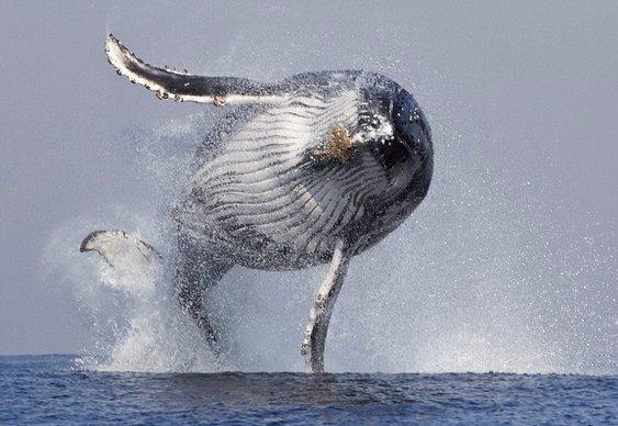 Jubarte voando como animal alado