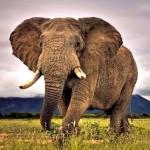 Orelhas dos elefantes servem como parabólicas de meteorologia