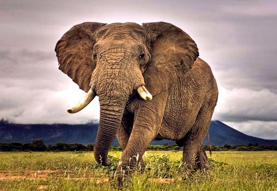 Audição dos elefantes