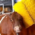 Lava-jato automático com escovas rotativas… para vacas
