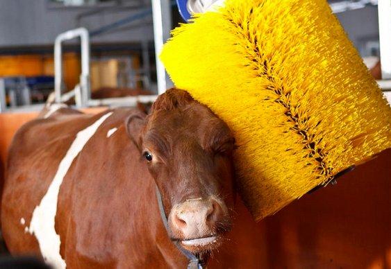Banho em gado bovino