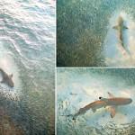 Consciência coletiva salva cardume de peixes do ataque de tubarões
