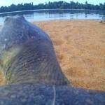 Câmera capta interação entre tartarugas amazônicas debaixo d'água