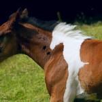 Potro marrom com silhueta de outro cavalo em mancha branca