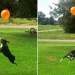 Cachorro faz 41 embaixadinhas seguidas sem deixar a bola cair