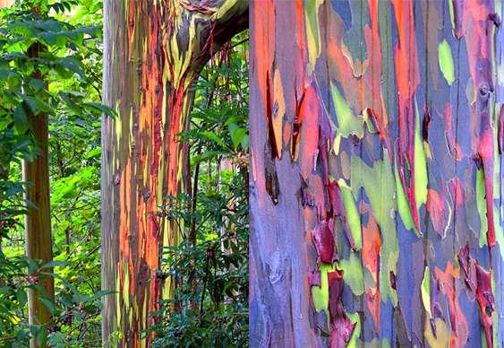 Troncos de árvores arco-íris