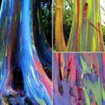 Florestas e produtos encantados com os eucaliptos arco-íris
