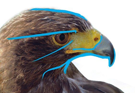 Cabeça de ave de rapina